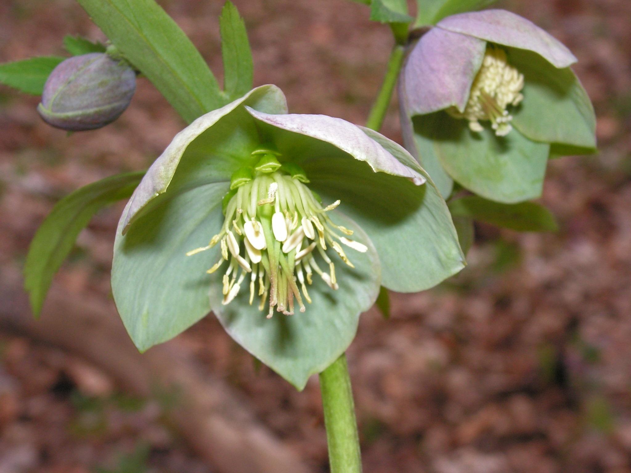 Čemerica purpurová (Helleroborus purprascens). Kvet zobrazený v logu NP Poloniny.