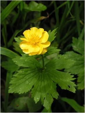 Iskerník karpatský (Ranunculus carpaticus).Na Slovensku je známy z jedinej lokality v Národnom parku Poloniny.