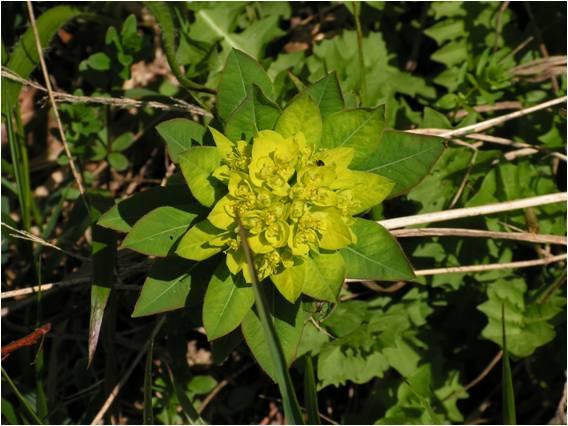 mliečnik Sojákov (Euphorbia Sojakii) - významný východokarpatský endemit vo flóre Slovenska.