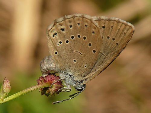 Lúky NP Poloniny poskytujú životný priestor pre obrozené motýle rodu Phengaris.